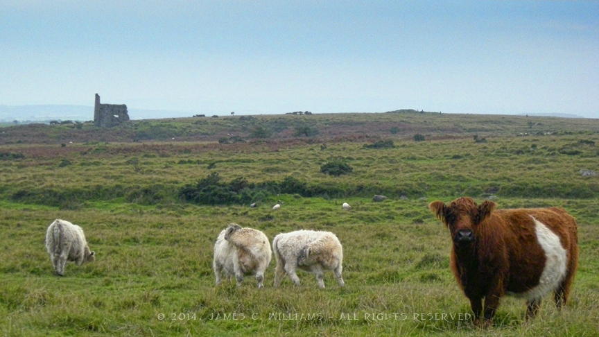Copper mine ruin in distance of these cattle on Bodmin Moor, Cornwall, England. Shot 2008, edited 2014.