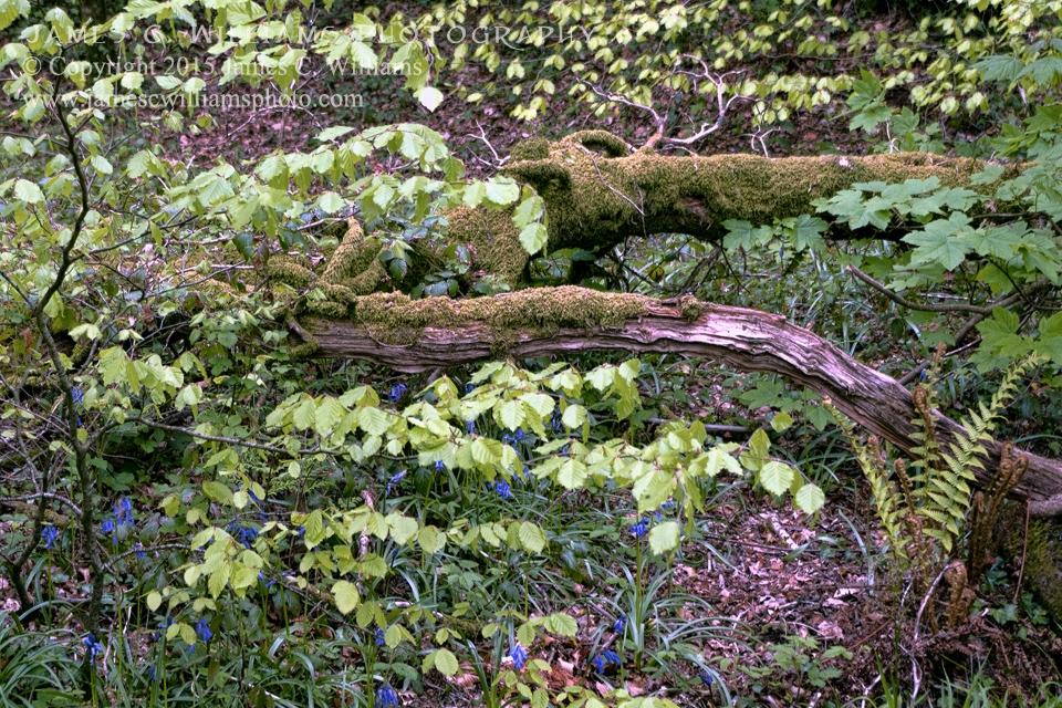 Fern, Moss and BluebellsGolitha Falls, Liskeard, Cornwall, EnglandColor Digital Photograph; shot 2010, final edit 2015