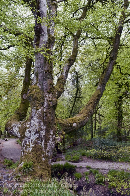 Mossy TreeGolitha Falls, Liskeard, Cornwall, EnglandColor Digital Photograph; shot 2010, final edit 2015