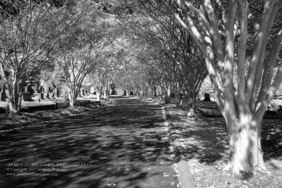 Avenue of Crepe Myrtles Infrared Digital Photograph, 2015 Oakwood Cemetery, Raleigh, NC