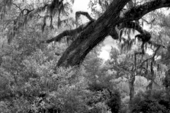 Spanish Moss hangs from this lovely curved oak tree on Pawley's Island, South Carolina.